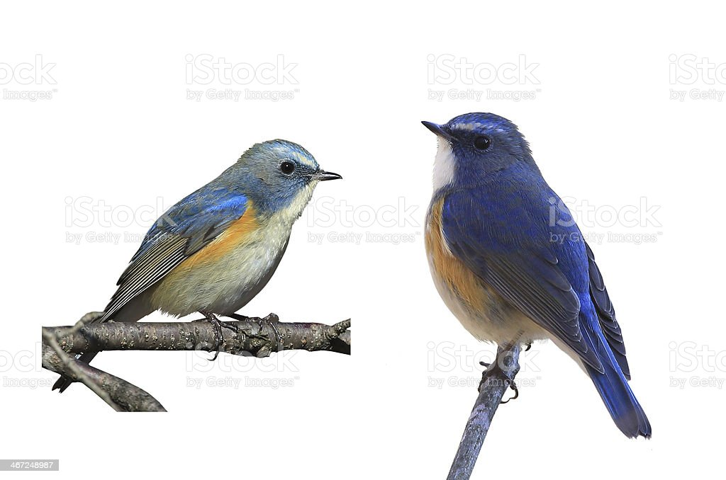 Blue bird in a white background stock photo