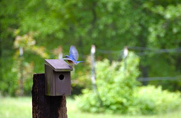 blue bird, landung auf dem vogelhäuschen mit flügel verteilt - wilde hilde stock-fotos und bilder