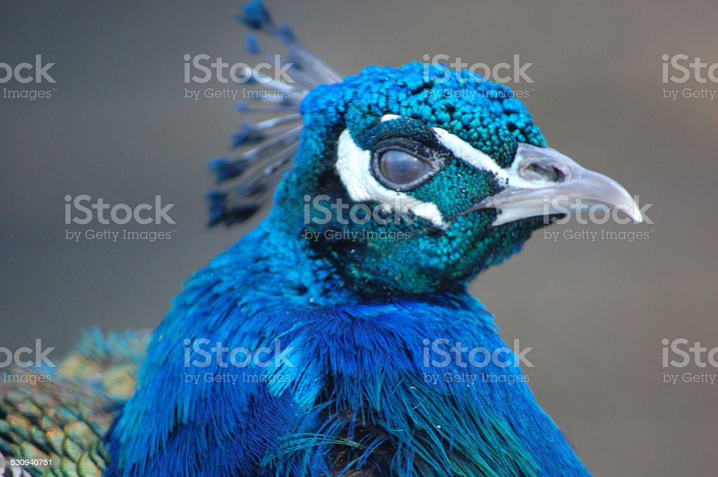 Oiseau bleu stock photo