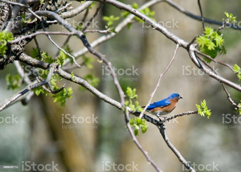 Blue Bird royalty-free stock photo