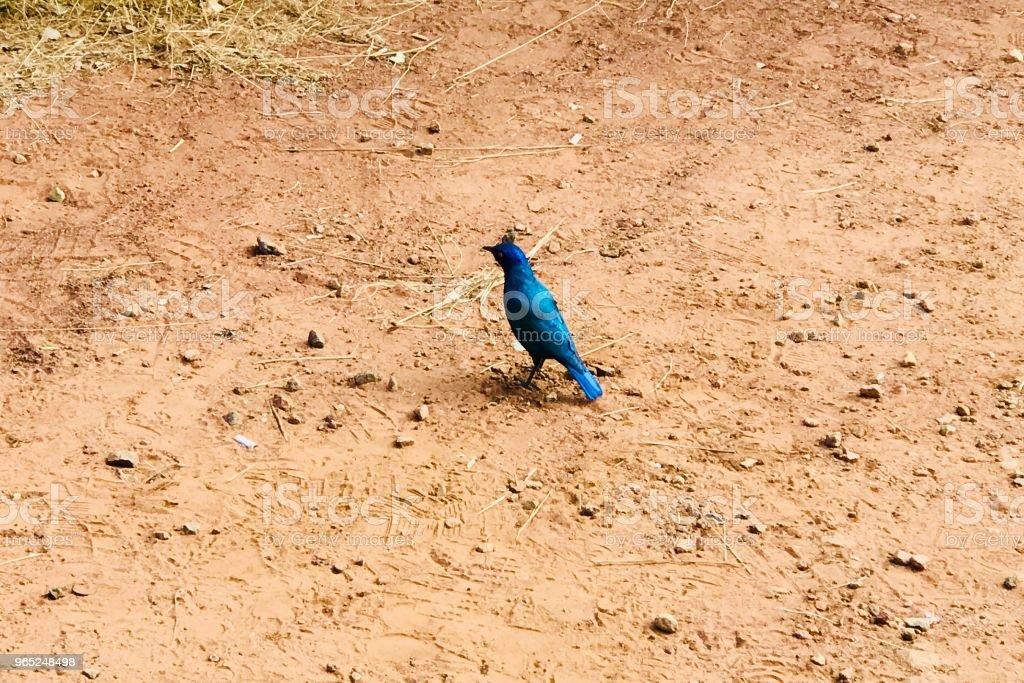 Blue Bird zbiór zdjęć royalty-free