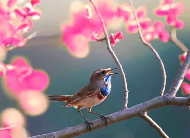 oiseau bleu chante dans le jardin de printemps fleurissant rose sur une branche d'arbre - Photo