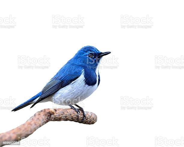 Blue bird ultramarine flycatcher perching on branch isolated o picture id469952034?b=1&k=6&m=469952034&s=612x612&h=fr7tj0vpuvvdymafrb4sxd lv3ft ebc2cvovs9edmw=
