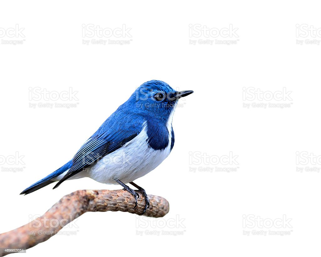 Blue Bird, Ultramarine Flycatcher, perching on branch isolated o stock photo
