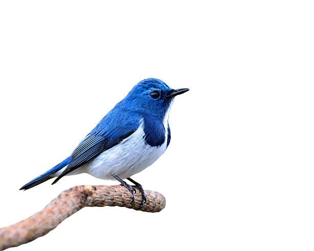 blue bird, ultramarine flycatcher, perching on branch isolated o - zangvogel stockfoto's en -beelden