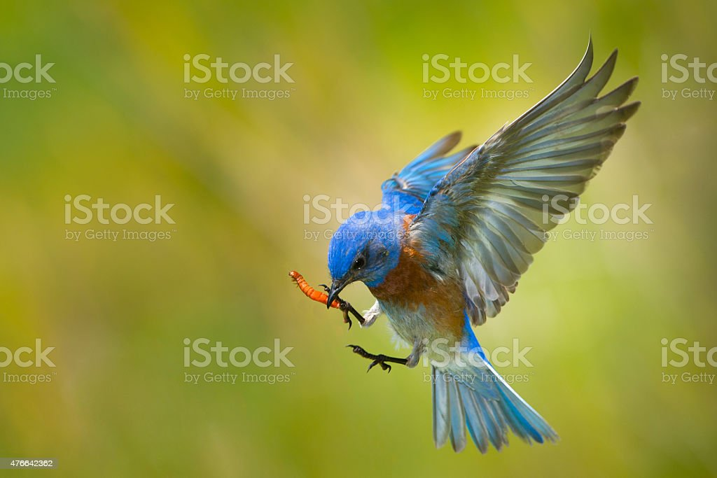 Blue Bird with a Worm stock photo