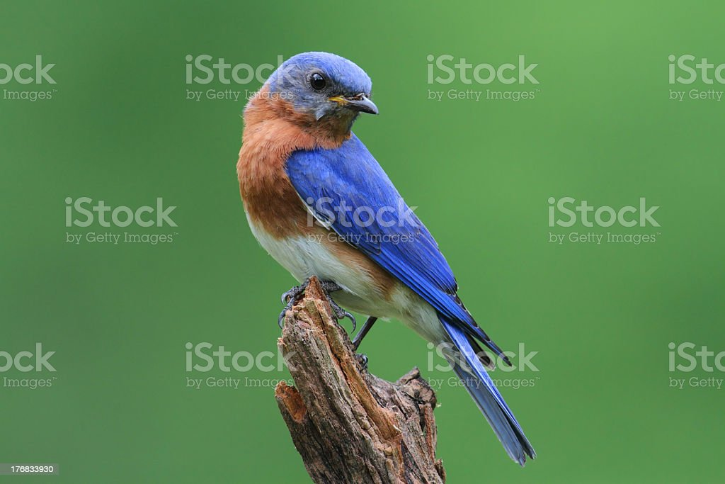 Blue bird with brown chest sitting on a broken branch stock photo
