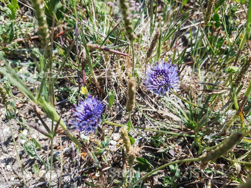 Gorras azul o botones y flor del hierro - foto de stock