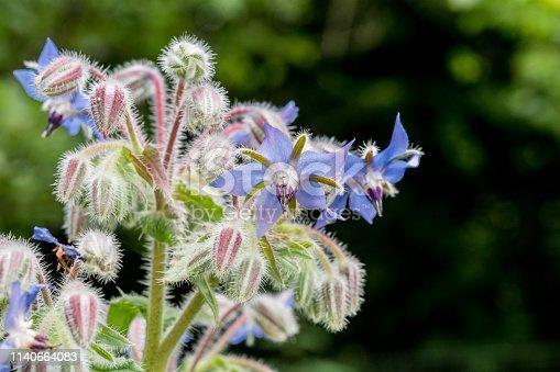 Blue Borage Flowers (Borago Officinalis) in Summer Garden