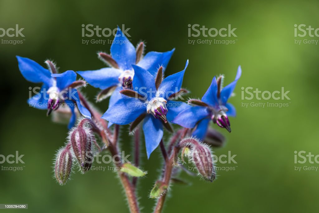 Blue borage flowers in the garden. - foto stock