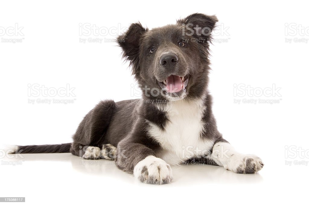 Blue Border Collie Puppy royalty-free stock photo