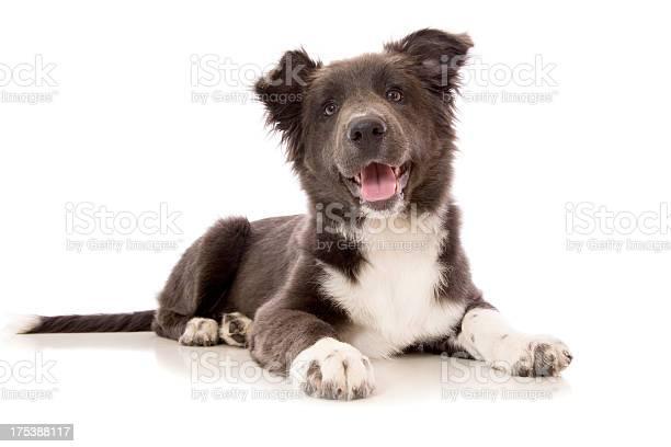 Blue border collie puppy picture id175388117?b=1&k=6&m=175388117&s=612x612&h=h8d2o1akpos 394ems2vigeieqhjhto9ja3ldizpkay=