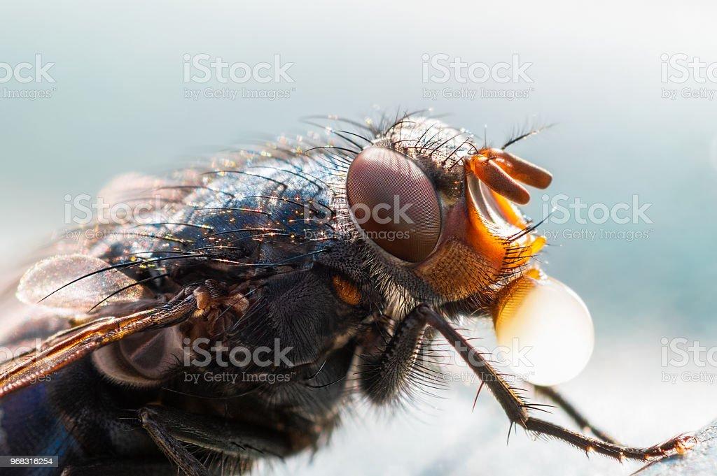 Blue bottle fly. stock photo