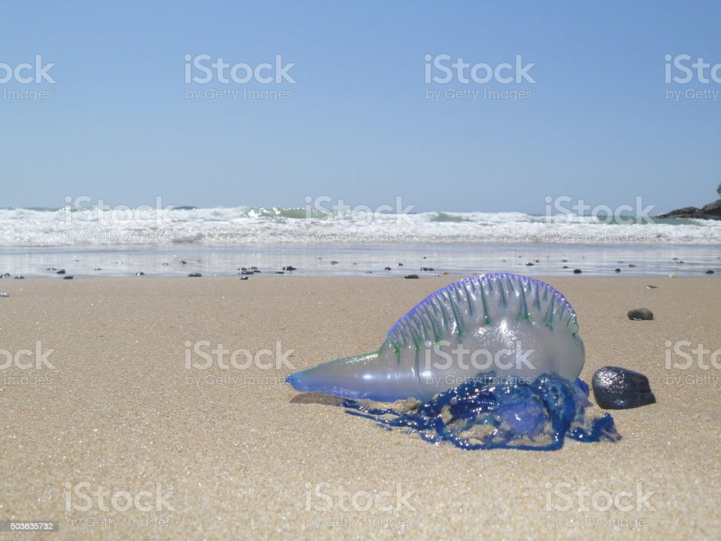 Blue Bottle Jellyfish stock photo