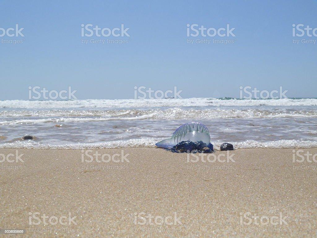 Blue Bottle Jellyfish stock photo