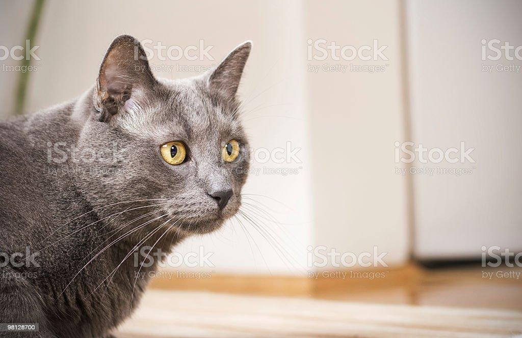 Blue british cat royalty-free stock photo