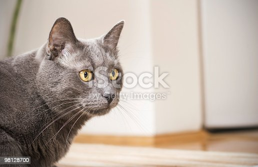 Blue British Cat Stock Photo & More Pictures of Alertness