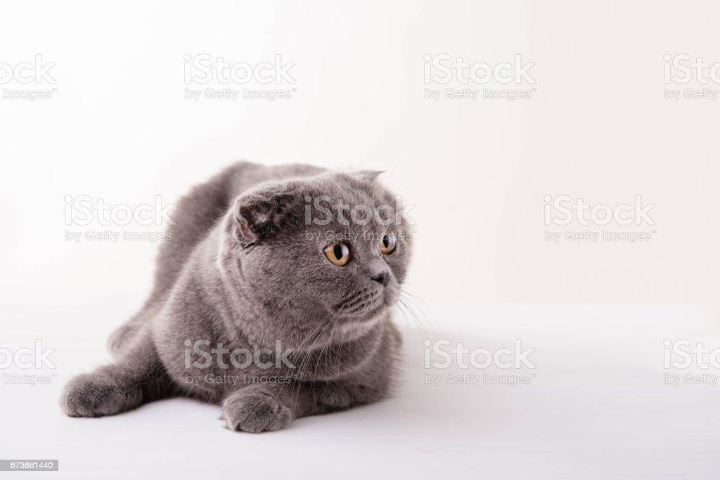 Blue British Shorthair cat on white background photo libre de droits