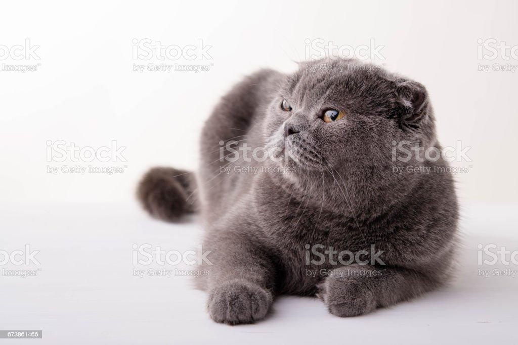 Blue British Shorthair cat on white background royalty-free stock photo