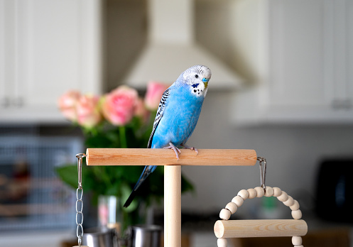 Blue budgerigar sitting at the stick.