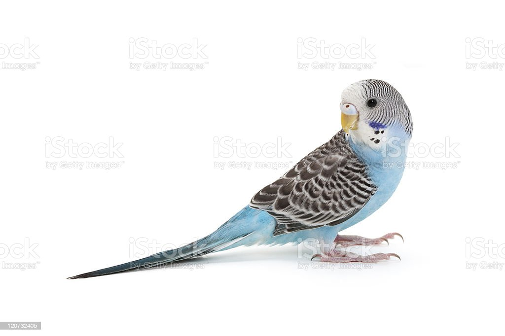 A blue budgie bird looking over its shoulder stock photo