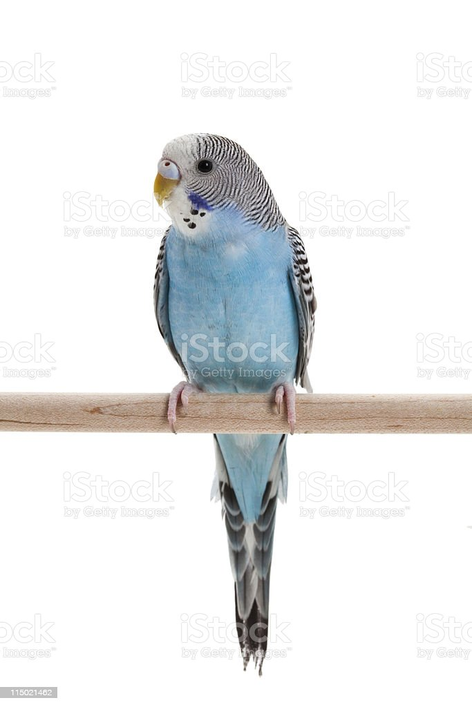 blue budgie stock photo