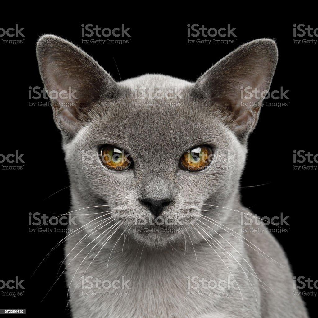 Blue Burmese Cat isolated on black background stock photo