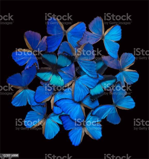 Blue butterflies isolated on black picture id1076114998?b=1&k=6&m=1076114998&s=612x612&h=nl12hcv sgzhzf5ojx3pk2psgl5ntid2wkxqsdu3uje=