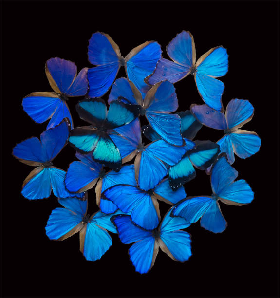 Blue butterflies isolated on black picture id1076114998?b=1&k=6&m=1076114998&s=612x612&w=0&h=ypyckpv8yzzmj4euyqs paqtvoty0vm2ouoexogmzc0=