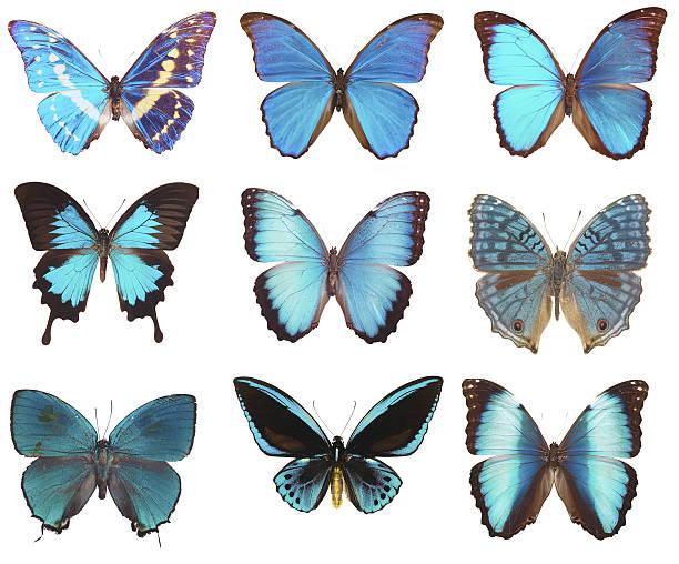 Blue butterflies picture id635727852?b=1&k=6&m=635727852&s=612x612&w=0&h=xg3sn1yrmffc09dzlpnpc8cja1xo5dwryowoksgqicw=