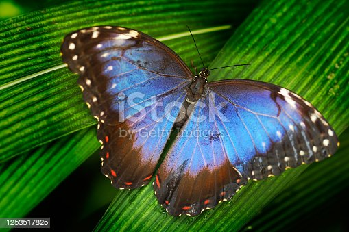 Blue butterfly. Blue Morpho, Morpho peleides, big butterfly sitting on green leaves. Beautiful insect in the nature habitat, wildlife scene. Butterfly in the green forest in Mexico, Central America.