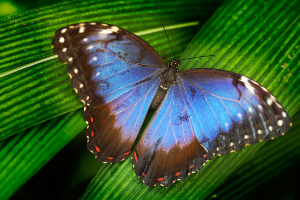 Blue butterfly. Blue Morpho, Morpho peleides, big butterfly sitting on green leaves. Beautiful insect in the nature habitat, wildlife scene. Butterfly in the green forest in Mexico, Central America. stock photo