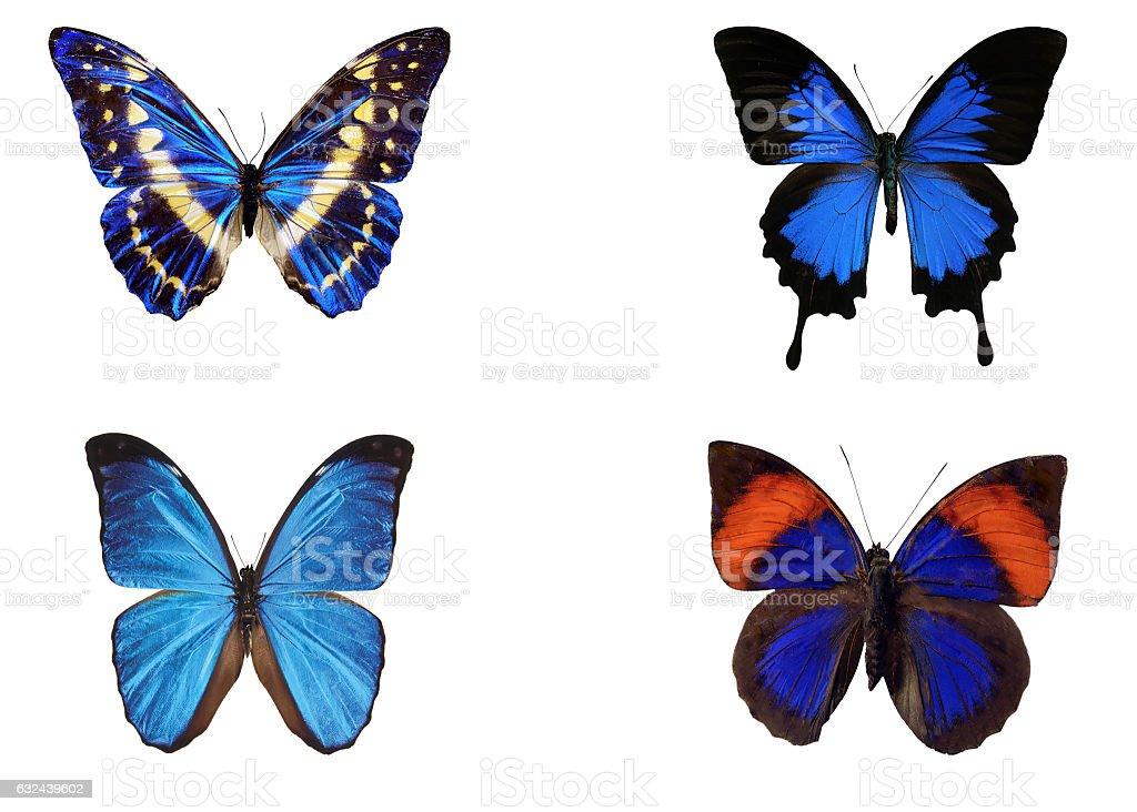 Borboleta Azul coleção isolada no branco