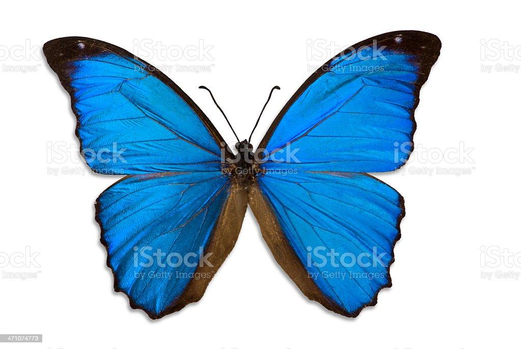 Strahlend Blau und Schwarz Schmetterling Lizenzfreies stock-foto