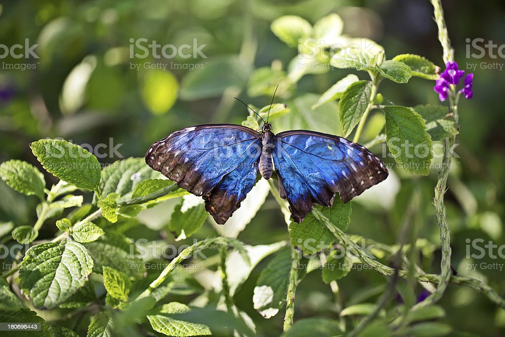 Blue Butterfly Drying wings stock photo