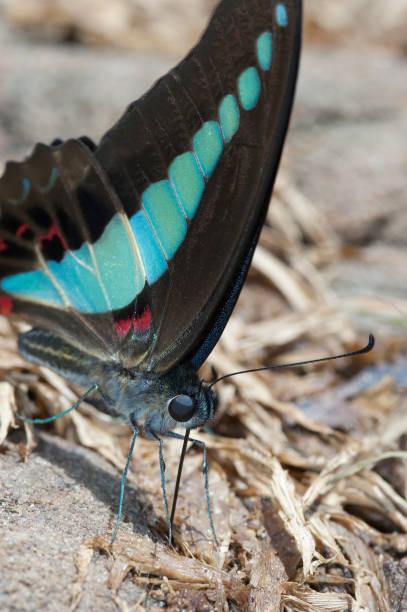 Blue butterfly (Graphium sarpedon) extreme closeup. stock photo