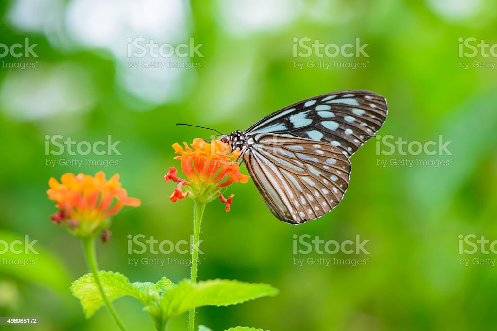 Blue butterfly fly in morning nature. stock photo