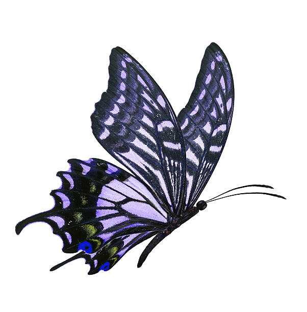 Blue butterfly flying picture id502459454?b=1&k=6&m=502459454&s=612x612&w=0&h=qili6xcwwdsqivjukhhoapzjvg3 4jq0qyioqbn7ave=