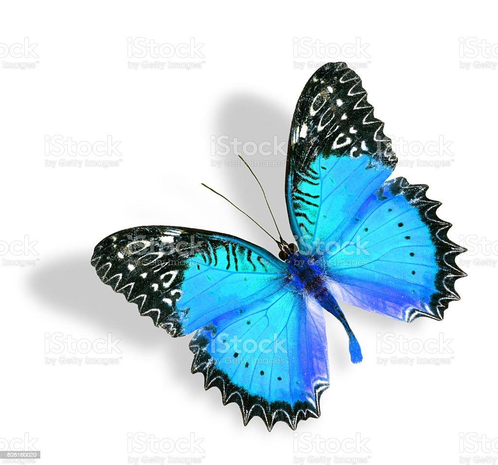 Blue Butterfly flying with soft shadow isolated on white backgro stock photo