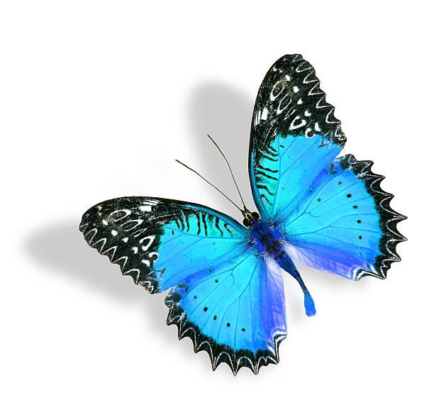 blauer schmetterling fliegt mit weichen schatten isoliert auf weißem backgro - schmetterling stock-fotos und bilder