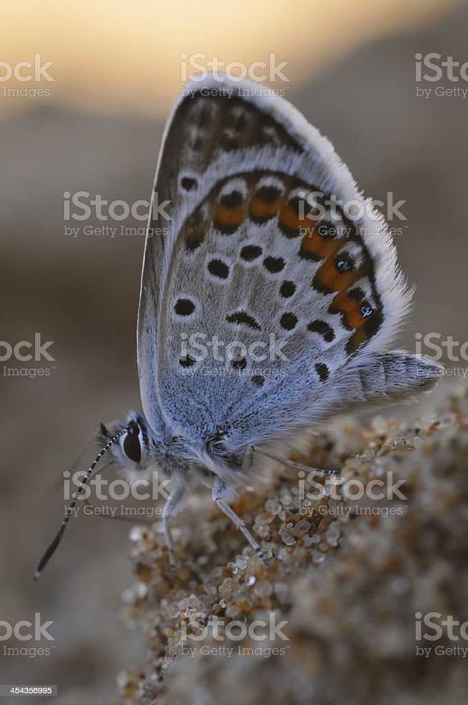 Blue butterfly (Lycaenidae) in close up royalty-free stock photo