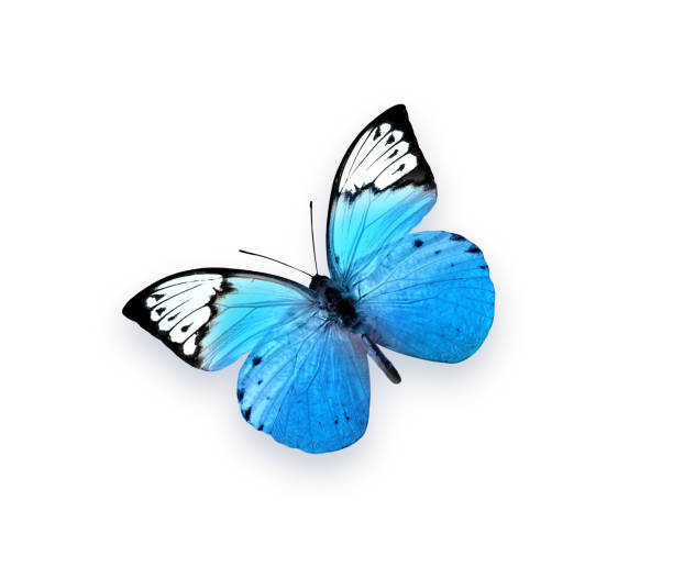 Blue butterfly isolated on white background beautiful insect picture id1022999858?b=1&k=6&m=1022999858&s=612x612&w=0&h=5dqcps3cqn5xsnj0t4f1nn obkbvtt8nog1nhl0mzcc=