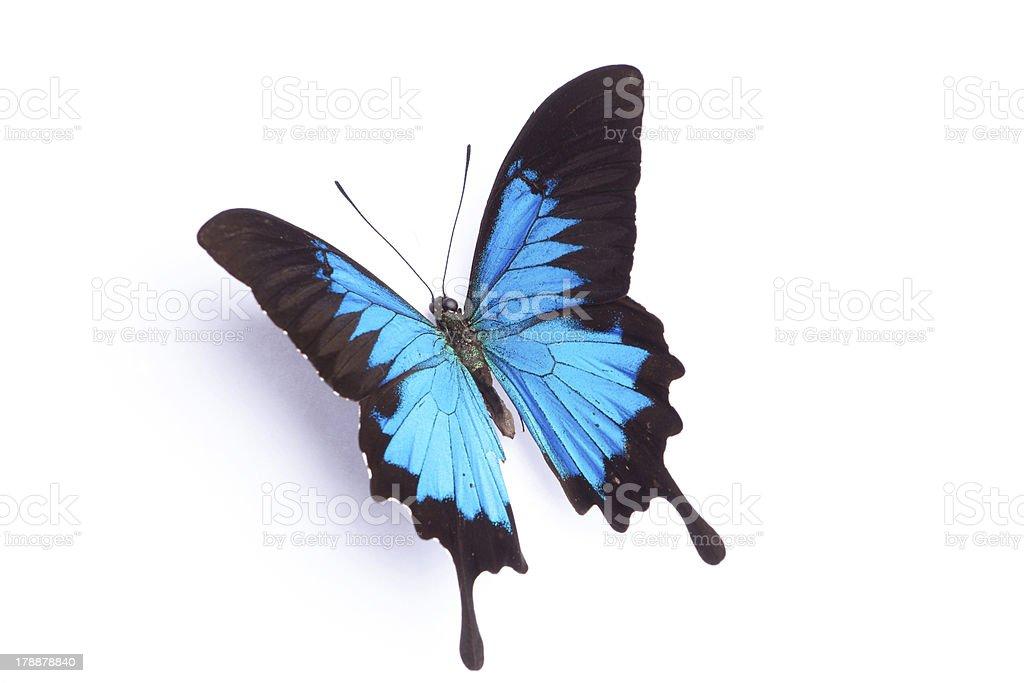 Farfalla Blu Isolato Su Sfondo Bianco Fotografie Stock E Altre