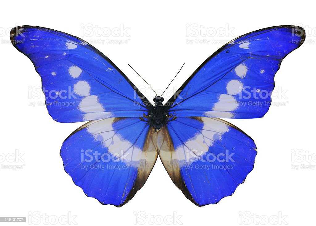Blue Butterfly - Large stock photo
