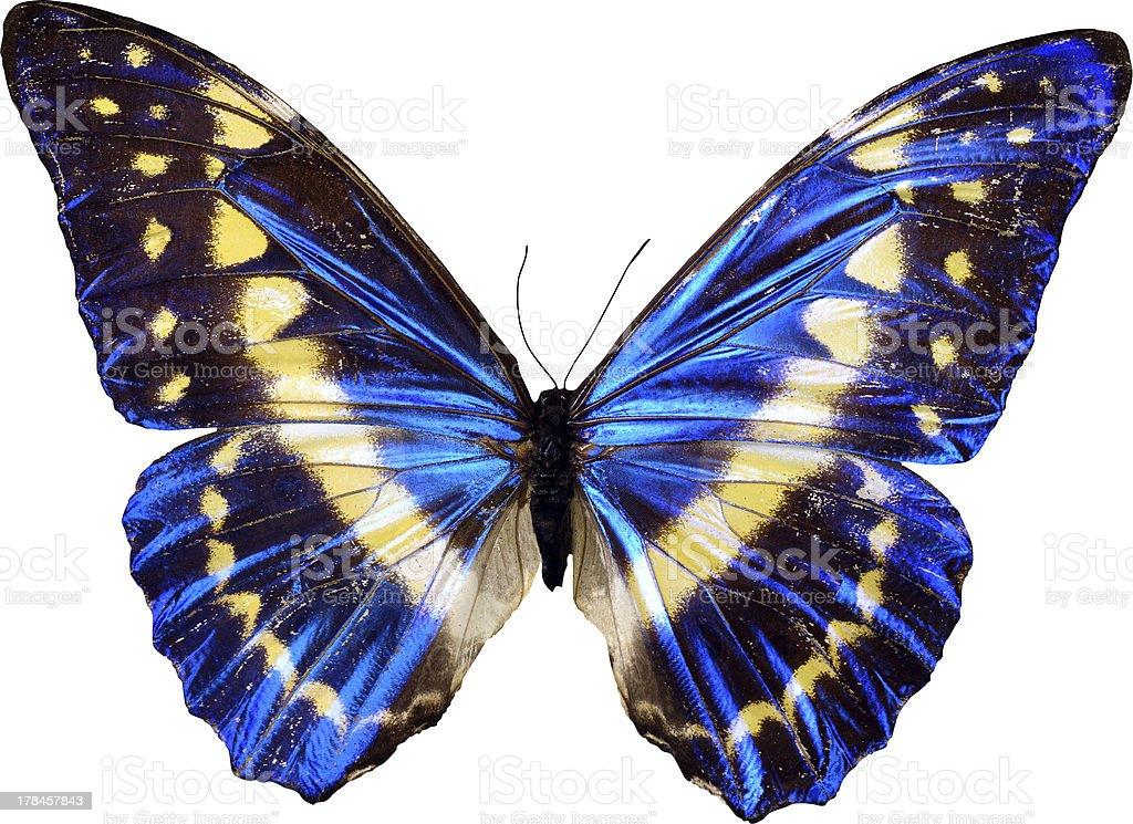 Farfalla Blu Su Sfondo Bianco Fotografie Stock E Altre Immagini Di