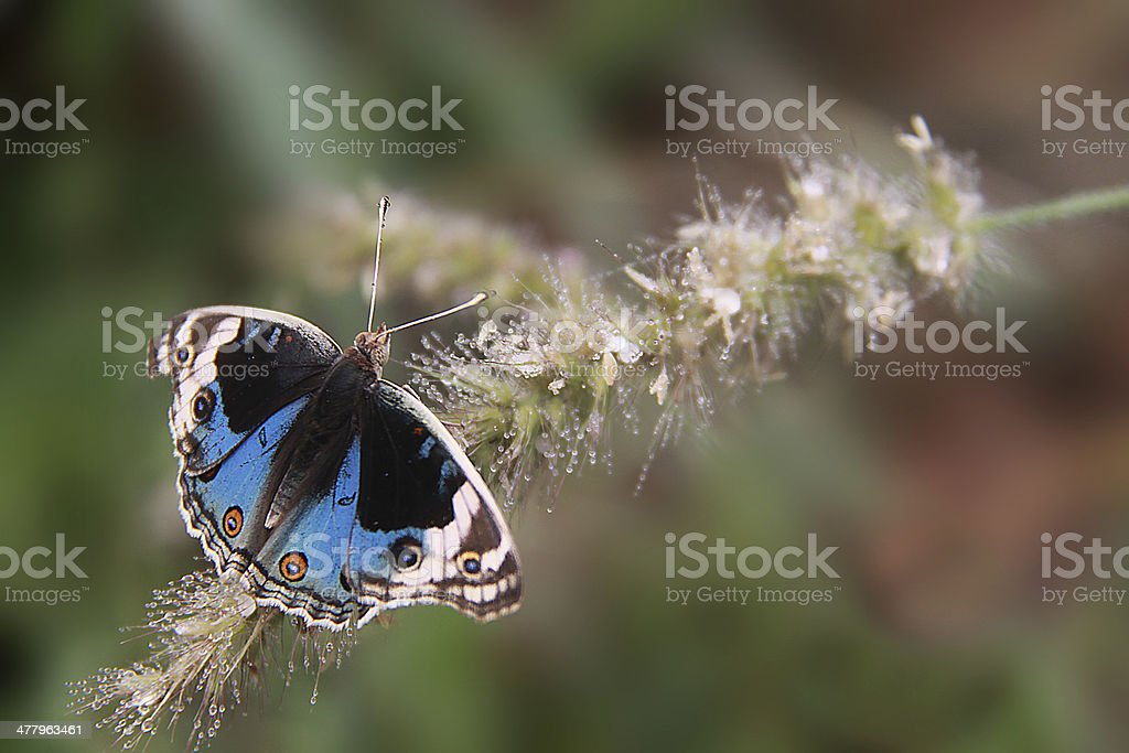 Blue Butterfly on a wild flower soaked in dew drops stock photo