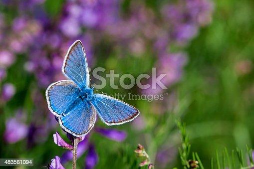 istock Blue Butterfly on Flower 483561094