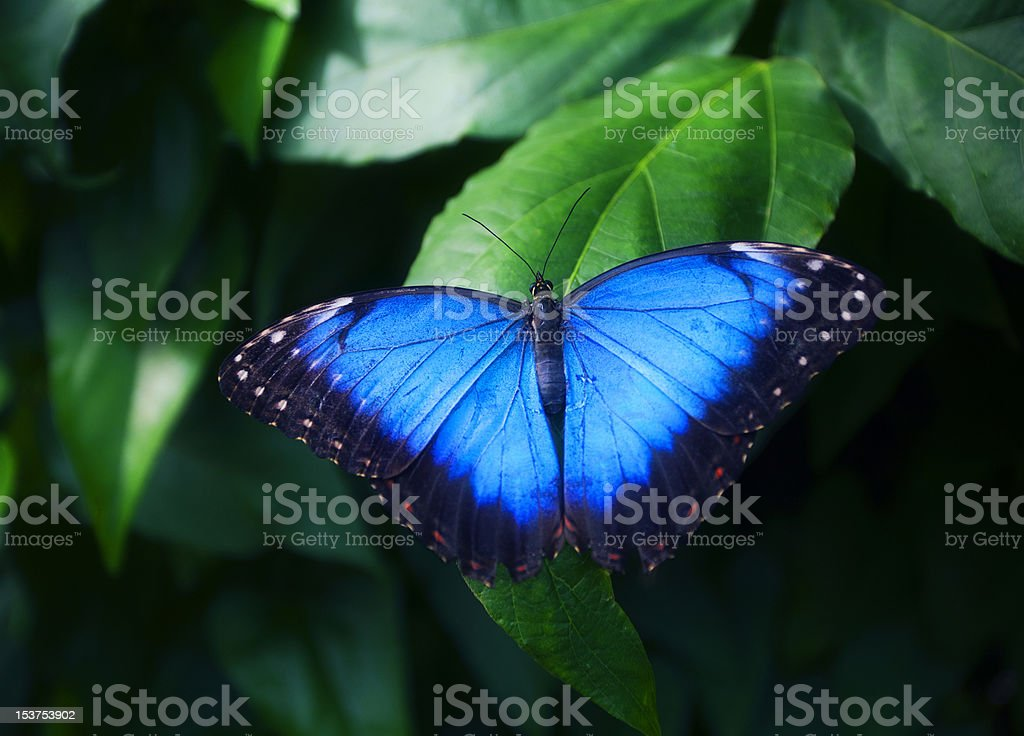 Blue butterfly on green leaf stock photo
