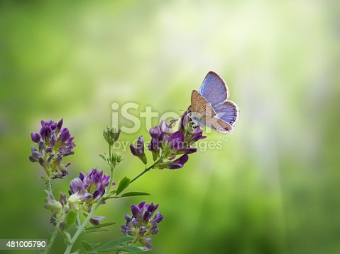 A beautiful blue Spring Azure butterfly on a purple flower with rays of sunshine flooding the background.