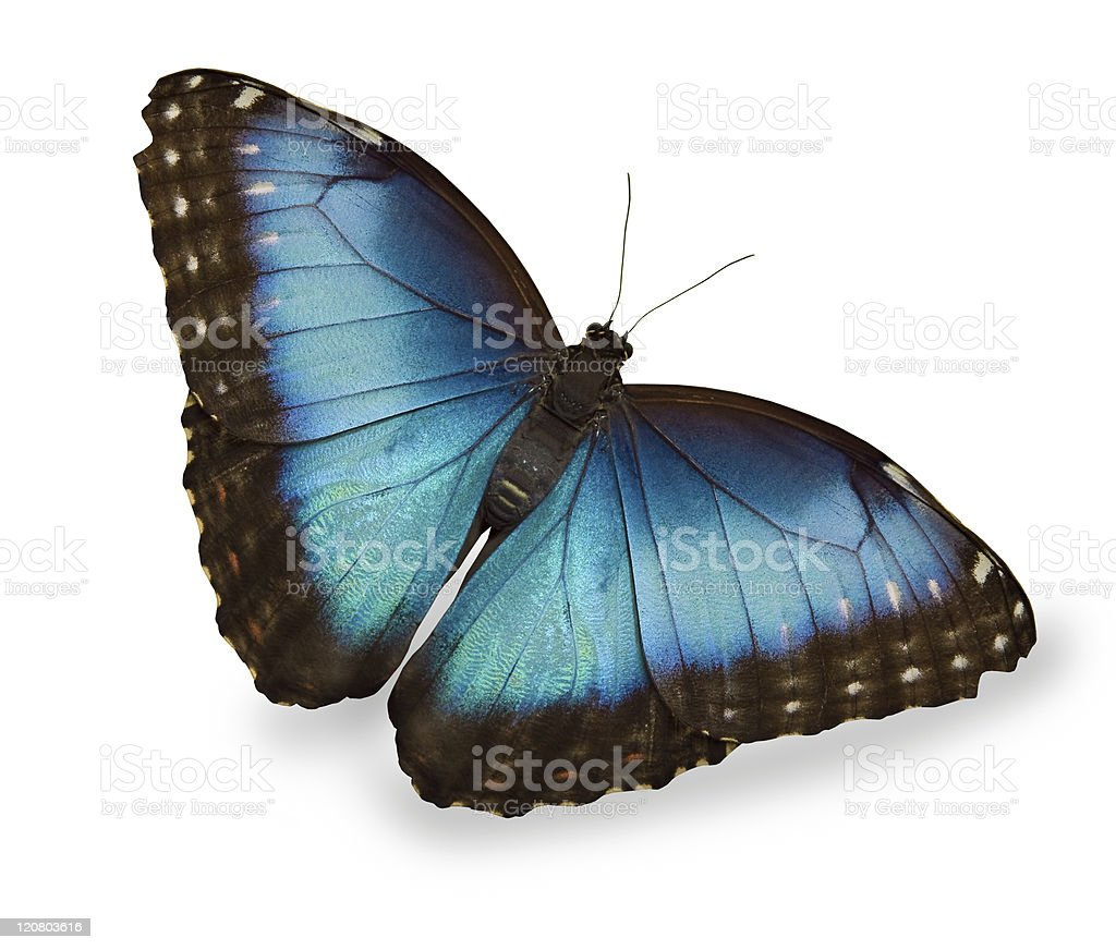 A blue butterfly on white background  stock photo